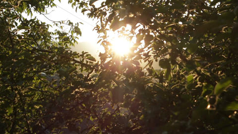 Apple Tree at Sunset HD Footage