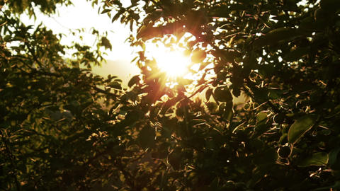 Apple Tree at Sunset Rays of Light HD Footage