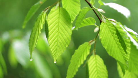 Spring Leafs After The Rain HD stock footage