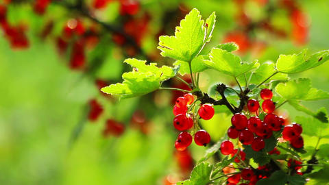 Fresh Red Currant Berries HD Footage