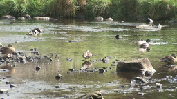 Ducks in a River Footage