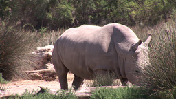 Hippopotamus in the Wild Footage