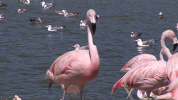 Beautiful Flamingos Footage