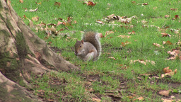 Playful Squirrel in a Park Footage