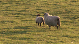 Sheeps in a Field Footage