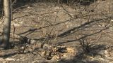 HD2009-9-40-15 Forest Fire After Scorched stock footage