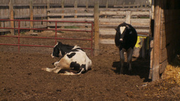 HD2009-9-41RC-2 dairy cows and stable Footage