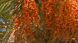 HD2008-8-12-25 Bermuda palm tree Stock Video Footage