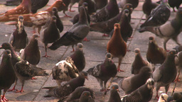 HD2008-8-14-45 San Juan old town pidgeons Stock Video Footage