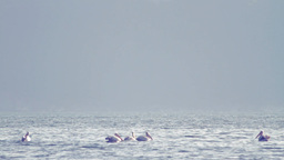 Group of Pelicans Floating Stock Video Footage
