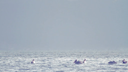 Group of Pelicans Floating Footage