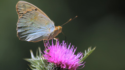 A Butterfly Landing On Thistle Stock Video Footage