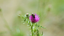 A Bee Pollinating Thistle Footage