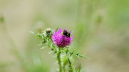 A Bee Pollinating Thistle Stock Video Footage