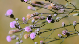 Creeping Thistle Stock Video Footage