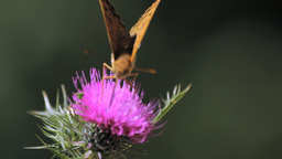 A Butterfly Landing On Thistle Footage