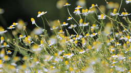 Chamomile Stock Video Footage