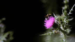 Wild Honeybee Pollinating a Thistle Stock Video Footage