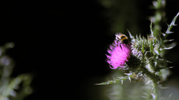 Wild Honeybee Pollinating a Thistle Footage
