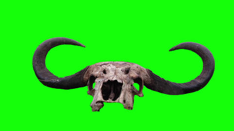 Skull and buffalo horn. Green screen Live Action