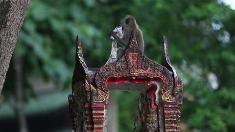 monkey eats rice on the pebbles Footage