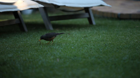 Blackbird on the grass Footage