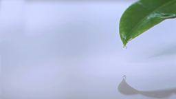 Droplet falls off tip of a leaf in super slow moti Footage