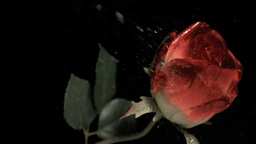 Rose being watered in super slow motion Footage