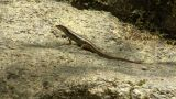 Thailand Lizard Watch And Run stock footage