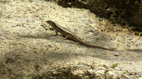 thailand lizard watch and run Stock Video Footage