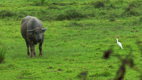 water buffalo ox with white bird 01 Stock Video Footage