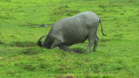 water buffalo ox walk in mud pool Footage