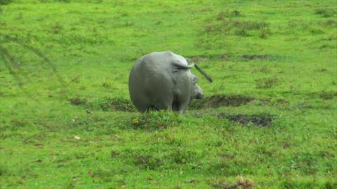 water buffalo ox walk in mud pool Stock Video Footage