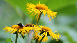 Bees pollinating yellow wild flowers Stock Video Footage