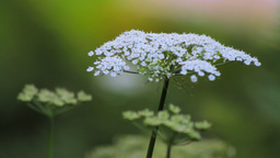 White Yarrow Stock Video Footage