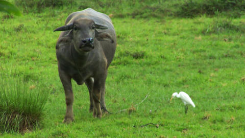 water buffalo ox with white bird 02 Footage