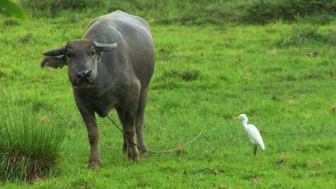 water buffalo ox with white bird 02 Stock Video Footage
