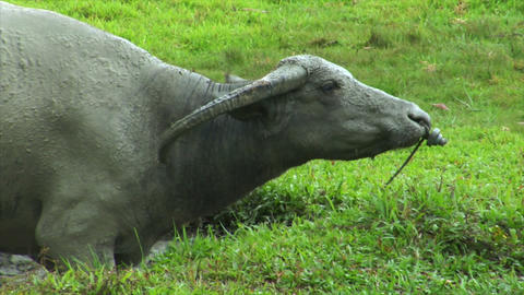 agressiv water buffalo ox comes close Stock Video Footage