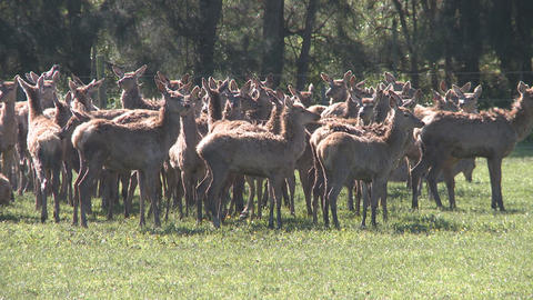 deer herd on farm Stock Video Footage