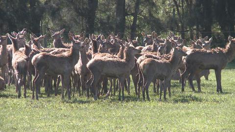 deer herd on farm Stock Video Footage