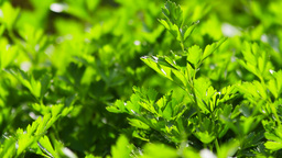 Tilt On Parsley Plant Footage
