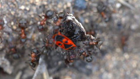 Fight ants with beetle Footage