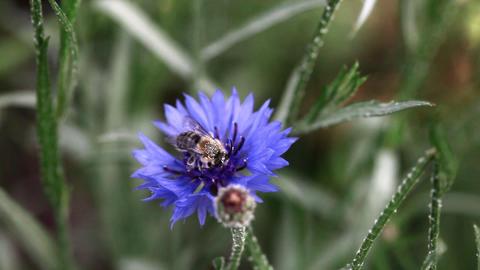Bee on cornflower Stock Video Footage