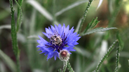 Bee on cornflower Footage