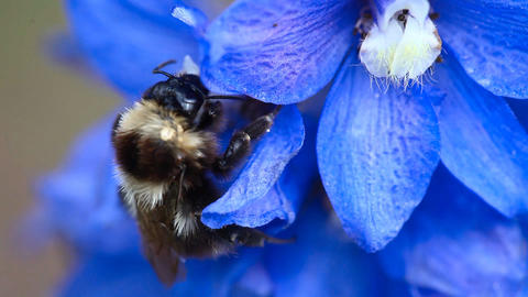 Bumblebee on a flower Footage