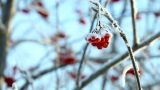 Frozen Ashberry stock footage
