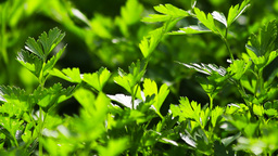 Parsley Stock Video Footage