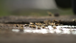Bees Collecting Water Footage