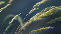 Grass Spikelets Footage