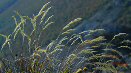 Grass Spikelets Stock Video Footage